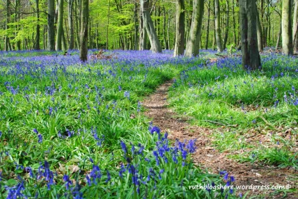 bluebell-woods-2015